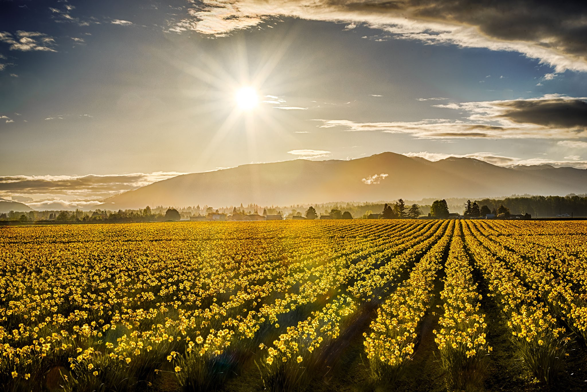 Daffodil Fields Mount Vernon, WA Photo Credit: David Larson